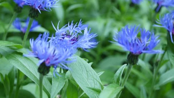 Modré chrpy s bokeh, květinové přírodní pozadí