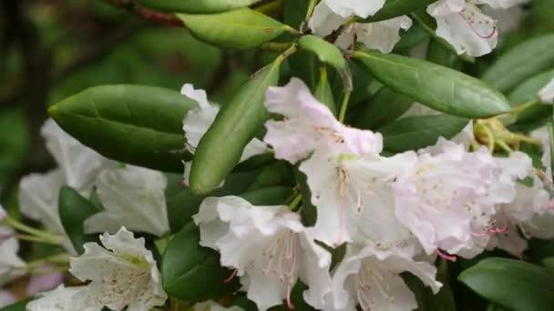 bílé fialové květy rododendronů květenství rododendron roseum elegans