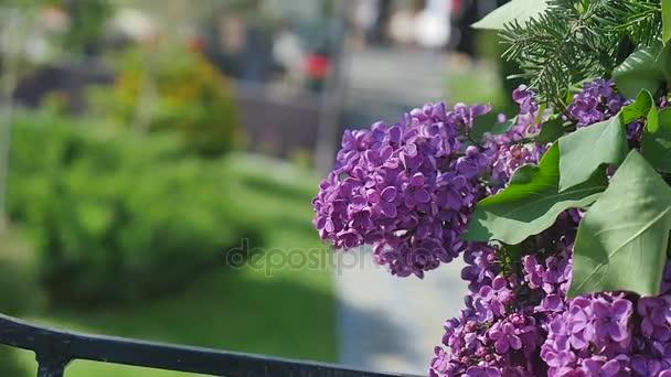 Květ šeříku. Double kvetoucí šeřík. Vítr houpat větve s krásnými květinami