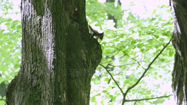 side view of a cute grey squirrel in a tree eating a nut