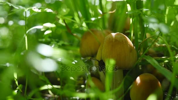 Mérgező gombák az erdőben