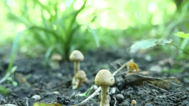 jedovaté houby v lese. Selektivní fokus