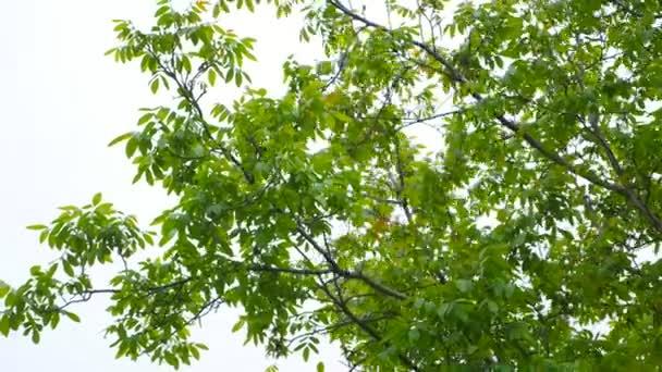 schöne Ansicht des Lichts, das durch Sommerblätter der Eiche im Wald scheint. satte, leuchtend grüne Blätter auf blauem Himmelshintergrund. helle Frühlingskulisse mit vielen Blättern. sonniger Tag. Blick von unten nach oben