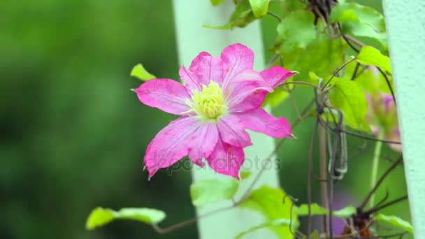 clematis. Beautiful purple flowers of clematis over green background. Purple clematis flowers.clematis flowers