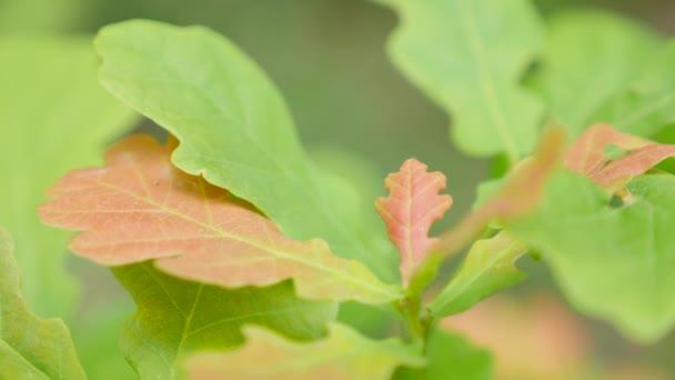 oak tree leaves leaf up close
