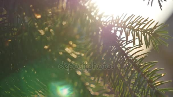 Beautiful bright green and blue colorful sunny nature background. Sun shines through blowing on wind fresh green branches of pine. Closeup of trees swinging over blue sky with sun flares and sunlight