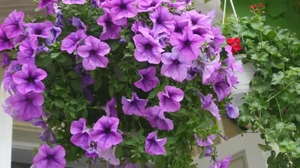 Purple violet Petúnie hybrida květinové postel květinové pozadí. Kvetoucí květiny, zahradní koše, záhonu. Jarní čas přírodní pozadí