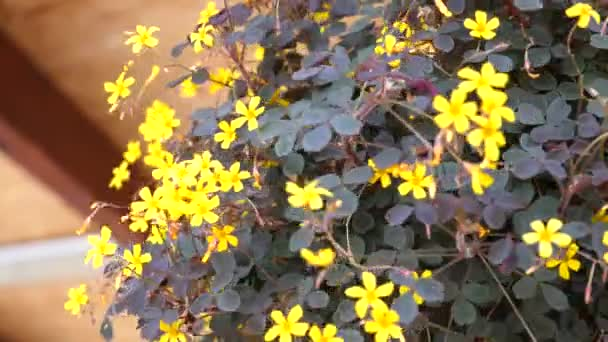 yellow little flowers In a flowerpot