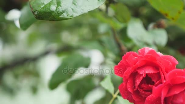 Piros rózsa-bud közelről a makró. Piros rózsa vízcseppek