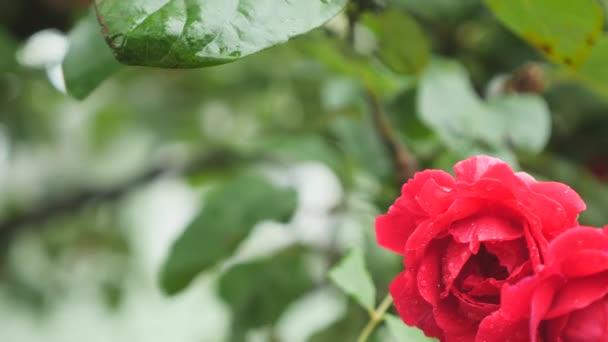 Red rose bud close up macro. Red rose water drops