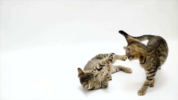 Two cats fight each other on a white background,slow motion