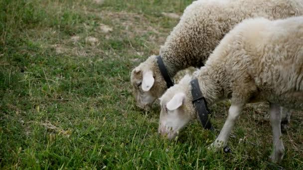 Zblízka jehňata hlavu žvýkání, ovce na louku, pole, zemědělské
