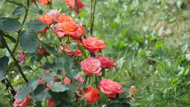 Růžové růže na růžovém keři
