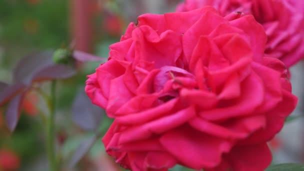 gyönyörű vörös rózsa bokor piros rózsa, vörös rózsa csokor