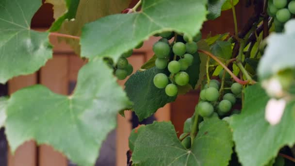 Green grapes on vine close up