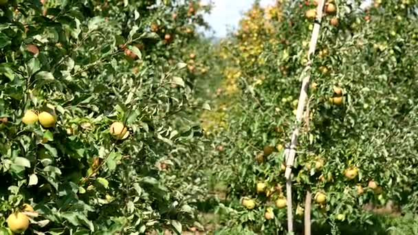 Apple trees with red apples in orchard