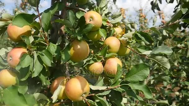A piros Alma gyümölcsös almafák