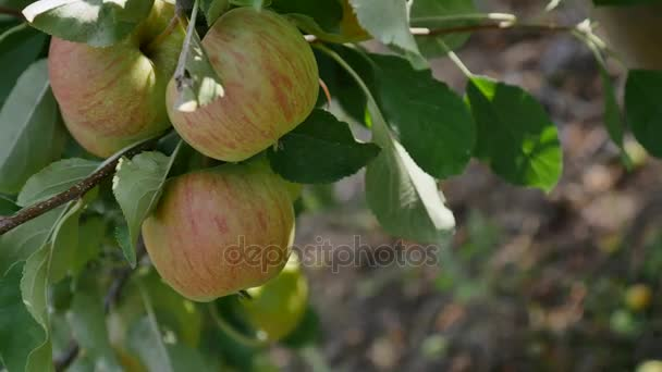 Apple trees with yellow apples in orchard