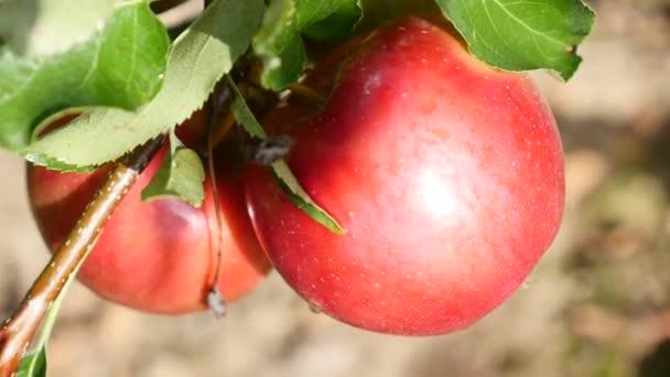 Deep red apple on tree, close up