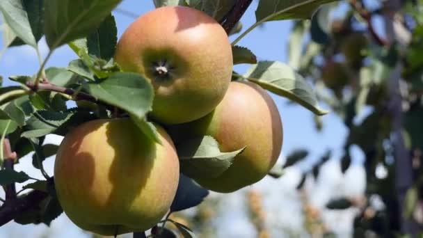 Almafák gyümölcsös sárga almával