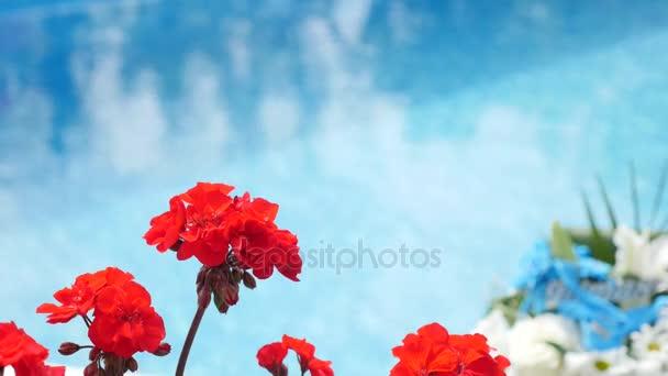 Bloming begonia kvetoucí červené begonia Detailní záběr na pozadí vody