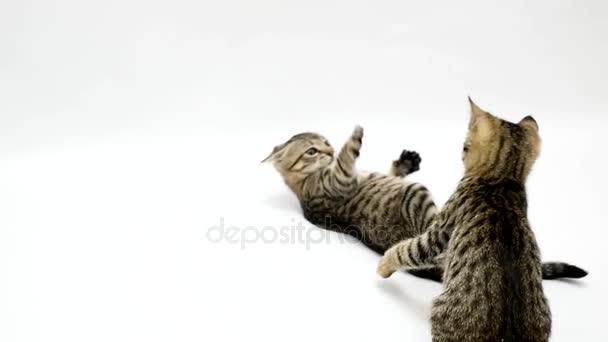 Dvě kočky bojovat proti sobě na bílém pozadí, pomalý pohyb