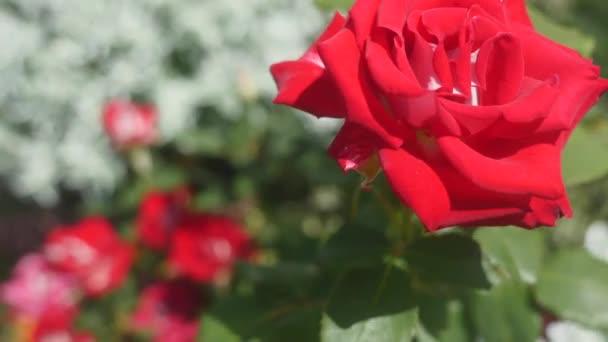 vörös rózsa a kertben. szelektív összpontosít