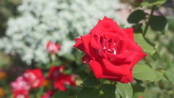 červené růže v zahradě. Selektivní fokus
