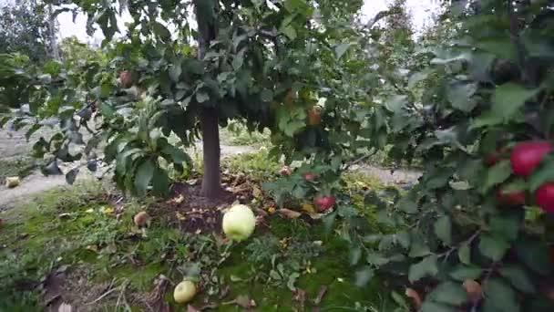 almafák piros almával