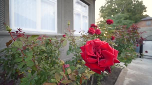 červené růže v blízkosti domova