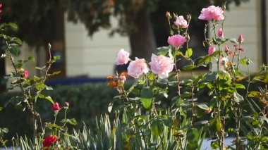 flowerbed with roses. people are walking in the background