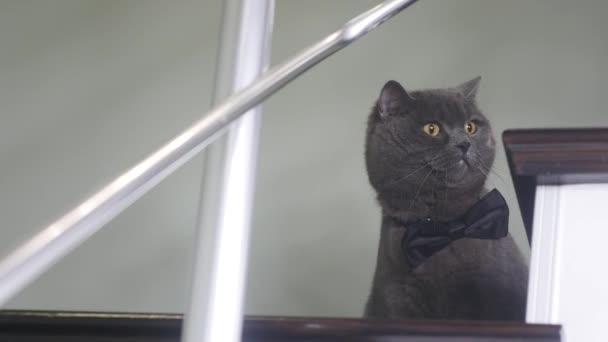 Legrační hledá kočka s černým motýlkem