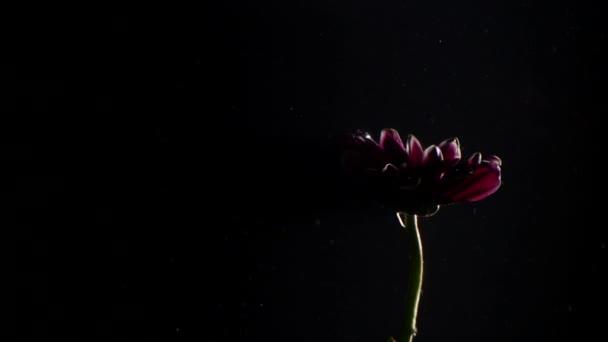 červená chrysanthemum na černém pozadí
