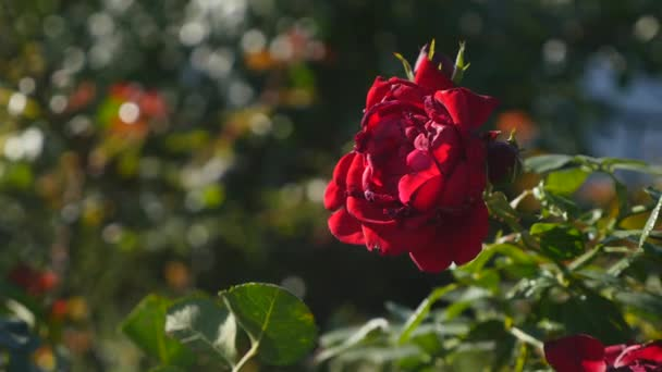 Beautiful red roses shaking in the wind