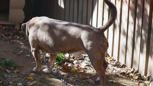 Hund an einer Kette, der Hund neben dem Stand, den Hund auf dem Hof. Wachhund an einer Kette im Dorf. Niedliche Land verbunden mit kurzkettigen seinen Zwinger.
