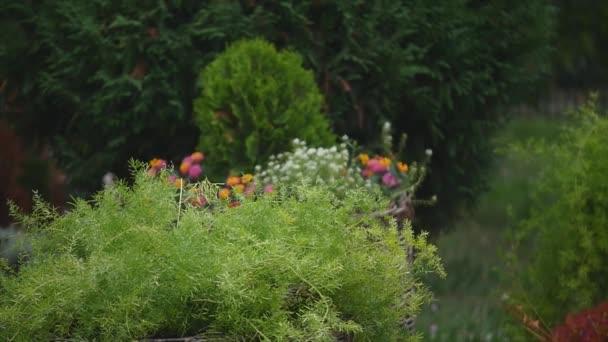 udržovaný trávník s dekorativní keře na zahradě venkovský dům v létě