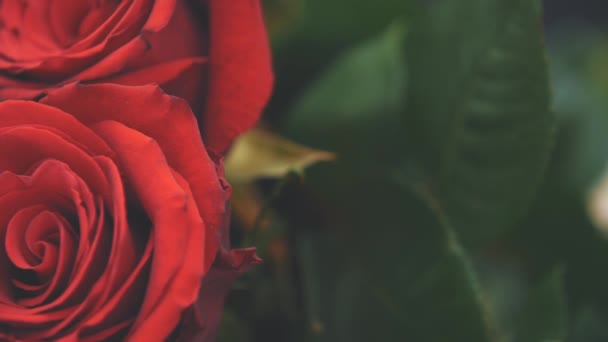 Two cropped beautiful red roses. Blurred green leaves.