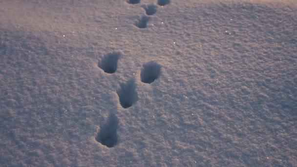 rabbit Footprints on snow