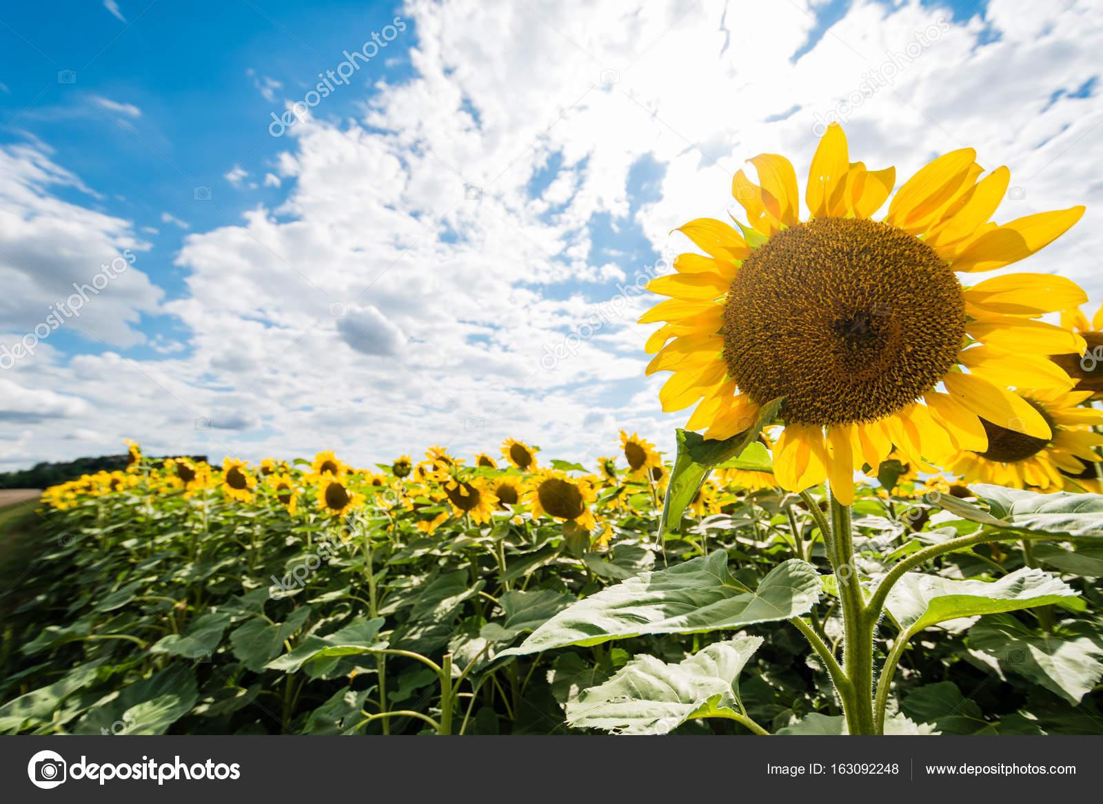 Detail der sehr schöne frische Sonnenblumen Wachstum auf großen Feld ...