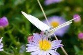 Zelí motýl sedí na květ