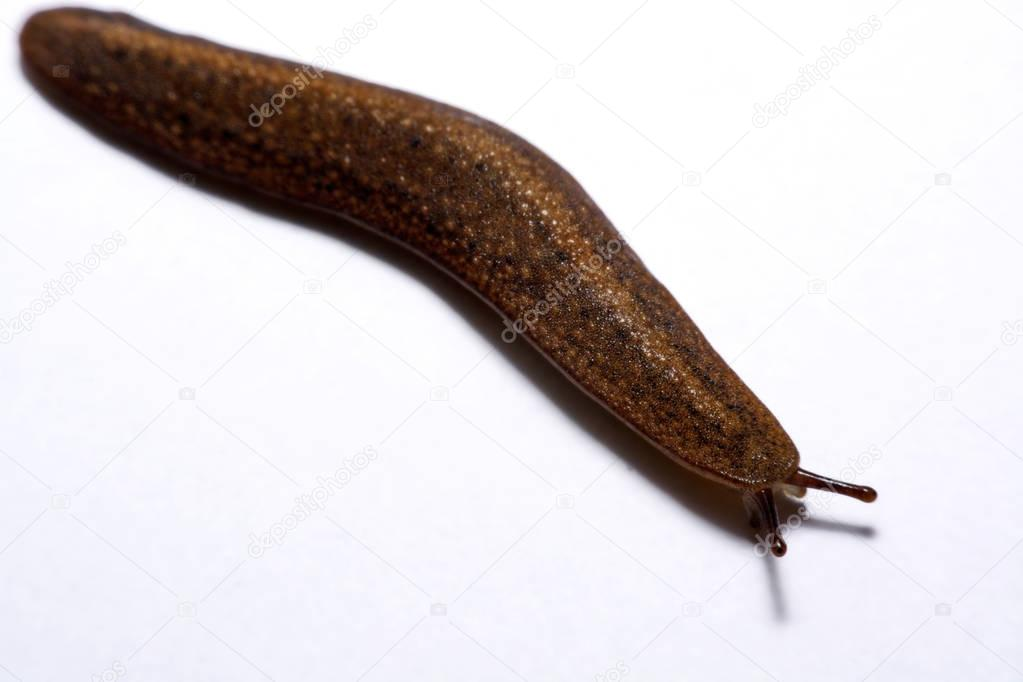 Slug (land slug) isolated on white background.