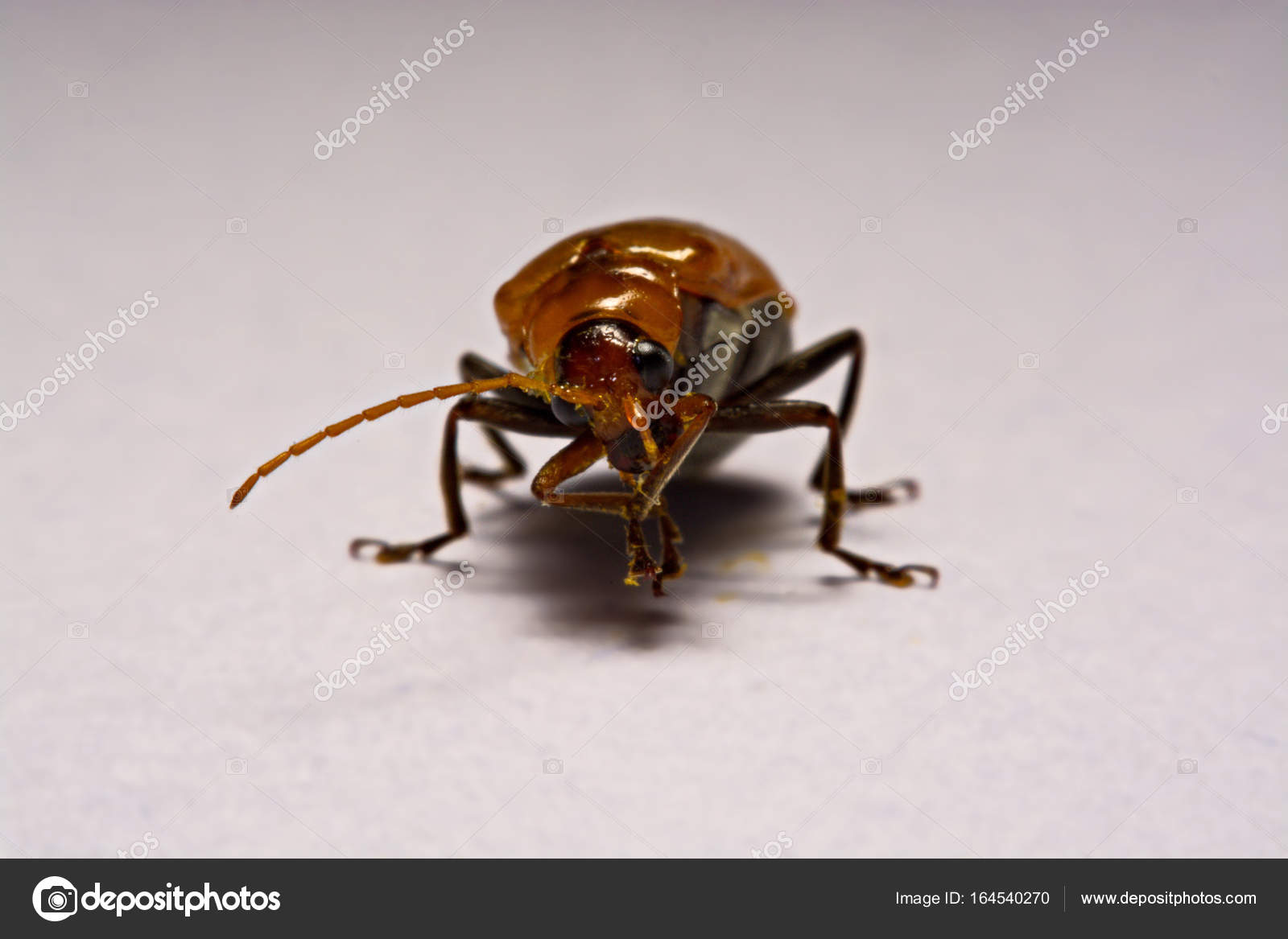 Macro / close-up insect red beetle on white background clay — Stock