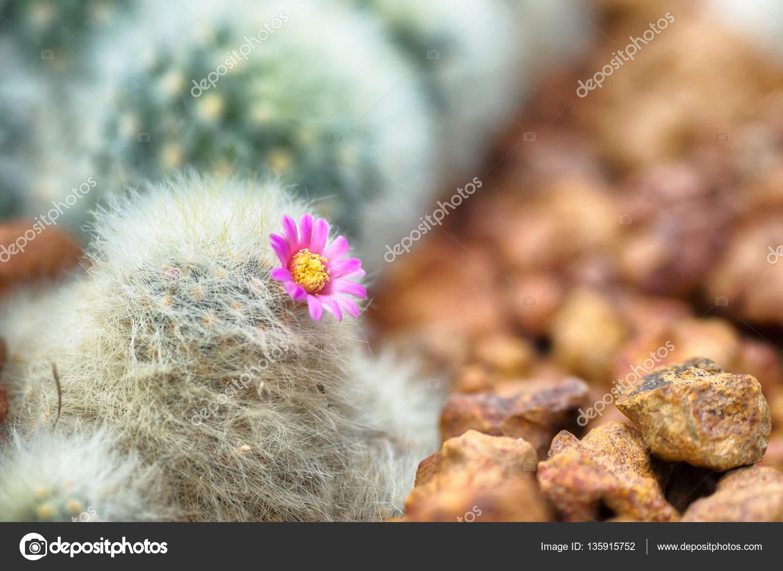 Belle Floraison Cactus Avec Fleur Rose Dans Le Desert Photographie