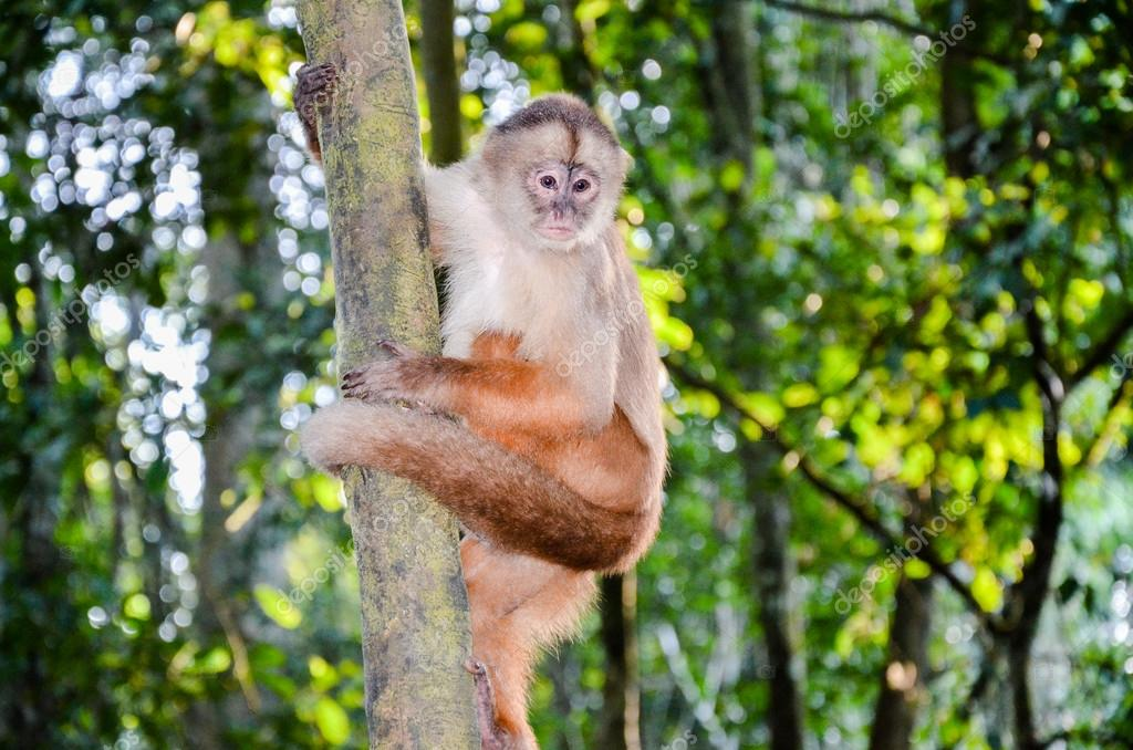 Tufted Capuchin, also known as Brown or Black-capped Capuchin climbing a tree in Tambopata National Park, Peru