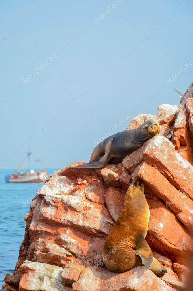 Fur seals (sea lions) sunbathing on the Ballestas Islands red cliffs, in Peru