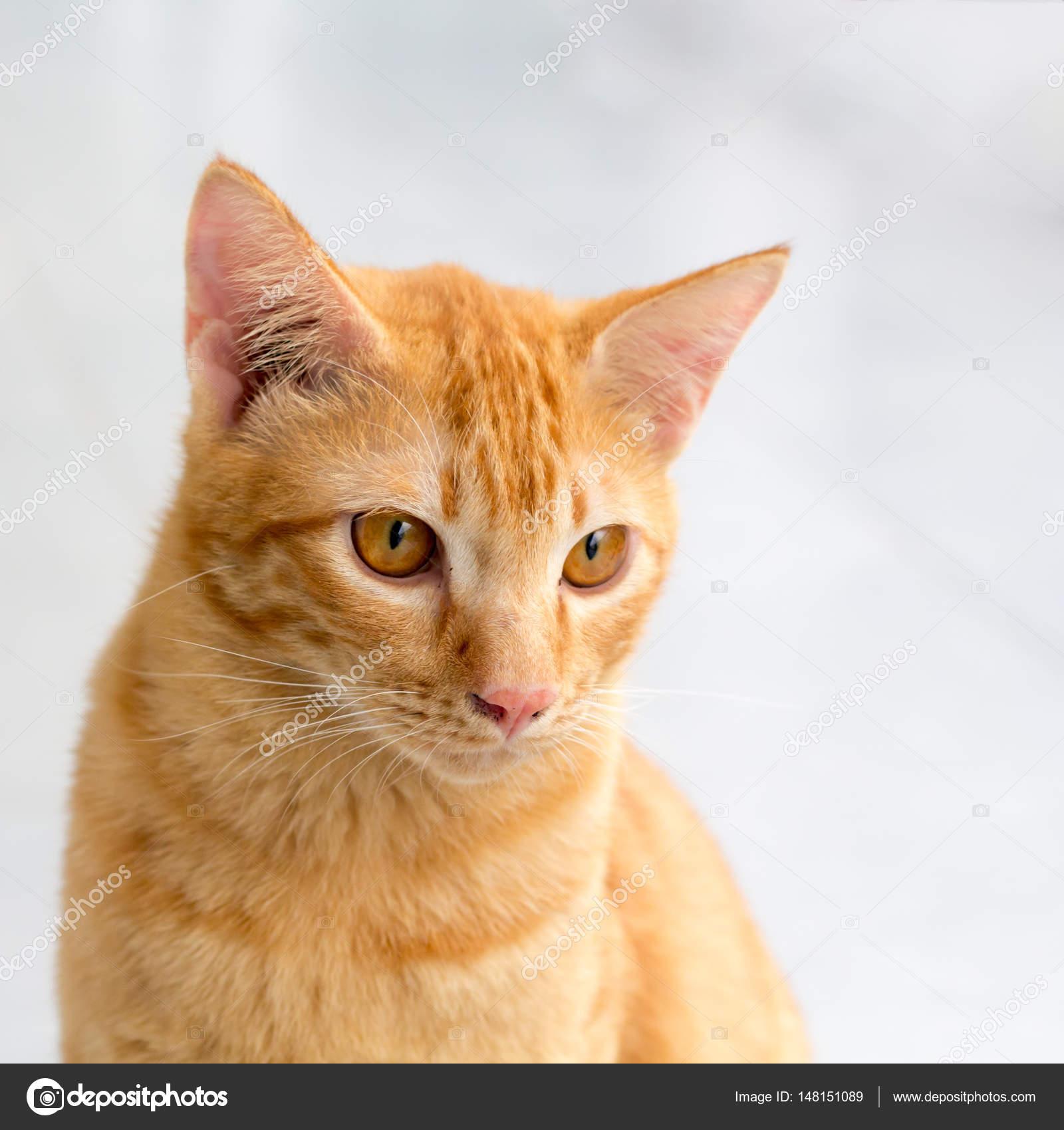 Orange Weiße Katze