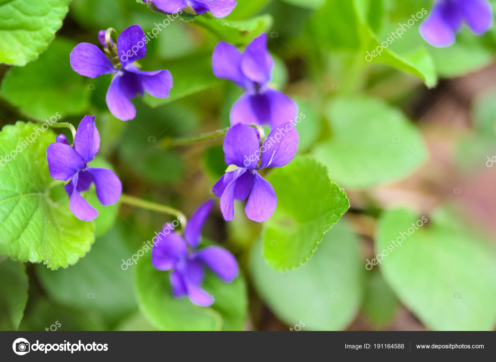 Beautiful Spring Flower Forest Early Spring Herbaceous Perennial