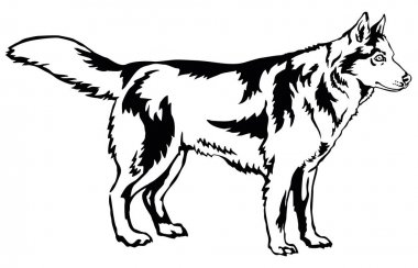Decorative standing portrait of dog Siberian husky, vector illus