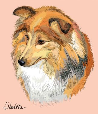 Sheltie colorful vector hand drawing portrait