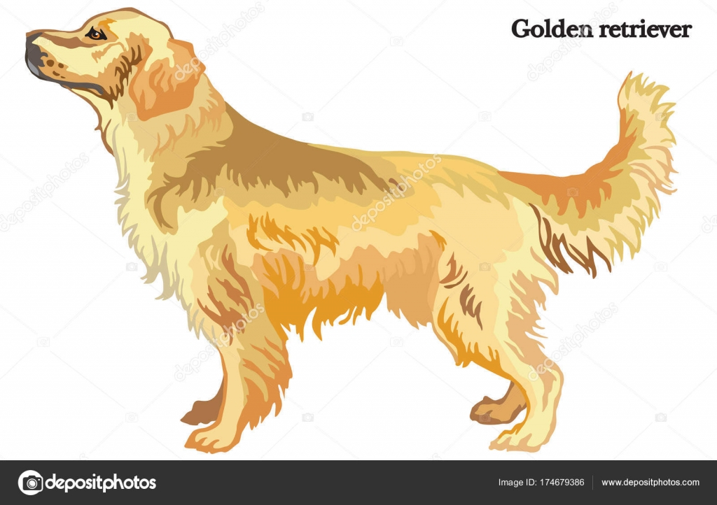golden retriever vector illustration � stock vector